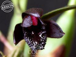Brasiliorchis schunkeana - Orquídea Negra
