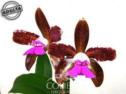 Cattleya tigrina ('Bento XVI' × trilabelo)