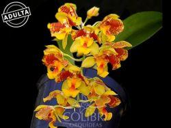Baptistonia (uhlii × colorata)