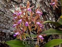 Cattleya guttata chocolate - muitas pintas