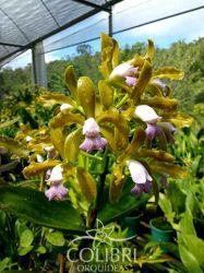 Cattleya tigrina lilacina