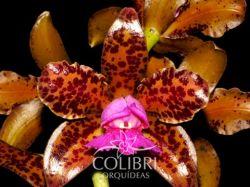 Cattleya tigrina chocolate