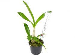 Dendrobium (Berry × speciosum)