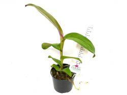 Epidendrum tridens