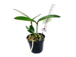 Cattleya bicolor bronze 'Colibri'