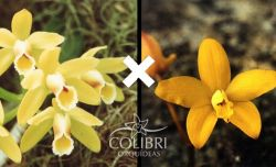 Cattleya luteola x Hoffmannseggella itambana