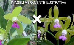 Cattleya tigrina (verde sem pintas × semi-alba)