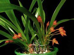 Ornithidium coccineum