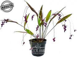 Acianthera purpureoviolacea