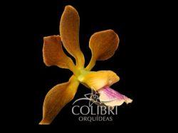 Encyclia ×celiamirandae