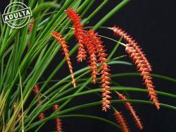 Dendrochilum wenzellii