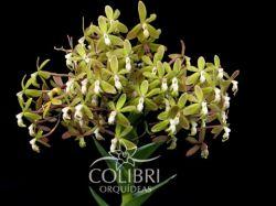 Epidendrum ammophilum