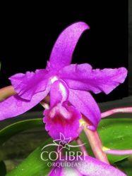 Guarianthe bowringiana 'Morumby' × self
