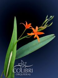 Hoffmannseggella guanhanensis