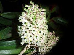 Dendrobium smilliae