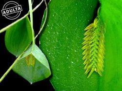 Acianthera pectinata (flavescens)