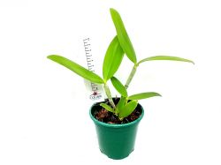 Cattleya forbesii seleção × Cattleya tigrina