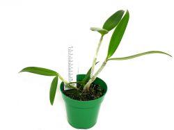 Cattleya bicolor (verde × cerúlea paulista)